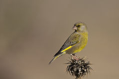 Greenfinch on a Thistle Looking Back. A greenfinch is perching on a thistle and looking reverse direction stock image
