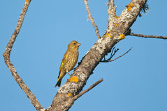 Greenfinch on a tree Royalty Free Stock Photos
