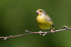 Greenfinch on a twig Stock Image