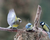 Greenfinch and uninvited guests. Menacing look of  green-finch bird Royalty Free Stock Photo