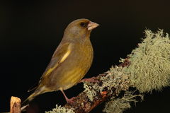 Greenfinch. Stock Image