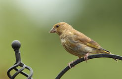 Greenfinch. Royalty Free Stock Photo