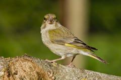 Greenfinch (viride do Coeloglossum) Foto de Stock
