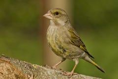 Greenfinch (viride do Coeloglossum) Foto de Stock Royalty Free