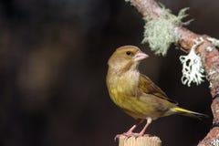 Greenfinch-Vogel auf Stange Lizenzfreie Stockbilder