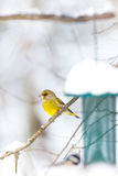 Greenfinch waiting for the right moment at the birdfeeder. Green finch in snowfall waiting for the right moment for the birfeeder - Carduelis chloris Royalty Free Stock Photography