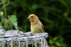 A greenfinch waiting to feed. Stock Photos