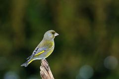 Greenfinch in winter Stock Photos