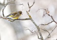 Greenfinch in winter day. The greenfinch sits on a mountain ash branch in rainy winter day Royalty Free Stock Image
