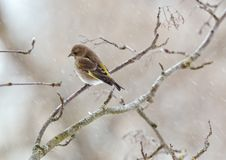 Greenfinch in winter day. The greenfinch sits on a mountain ash branch in rainy winter day Stock Photos
