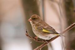 Greenfinch am Wintertag Stockfotos