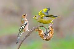 Greenfinch y pinzón vulgar Fotos de archivo libres de regalías