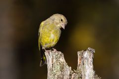 Greenfinch. Young greenfinch (Carduelis chloris) perched on dry tree stump against dark background Royalty Free Stock Image