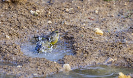 Greenfinches kąpanie Fotografia Royalty Free