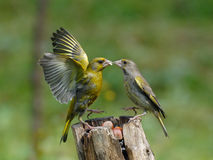 Greenfinches scandal on feeder Royalty Free Stock Photography