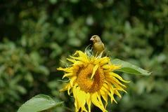 greenfinchsolros Royaltyfria Bilder