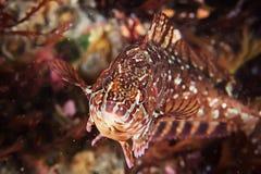 Greenfish Аляски на красочном морском дне Стоковая Фотография