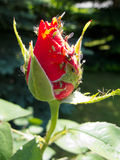 Greenflies on rose bud. Greenflies on a rose bud in a garden royalty free stock images