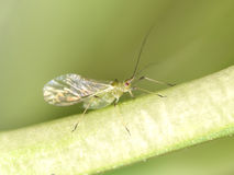 greenfly στοκ εικόνες