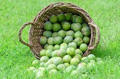 greengage royaltyfria foton