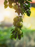 Greengage. The greengages are a group of cultivars of the common European plum Stock Photography