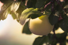 Greengage. The greengages are a group of cultivars of the common European plum Stock Photo