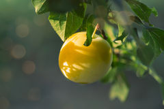 Greengage plum. The greengages are a group of cultivars of the common European plum Royalty Free Stock Photo