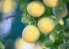 Greengage plums. Greengage Prunus domestica ssp. italica close-up of fruits on a branch Stock Images