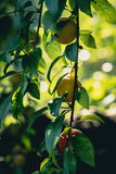Greengage plums. Greengage Prunus domestica ssp. italica close-up of fruits on a branch Royalty Free Stock Photo