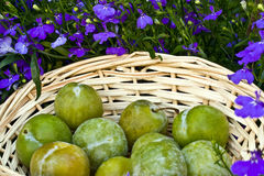 closeup of greengages Stock Photography