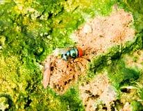 Greenhead della mosca Fotografia Stock
