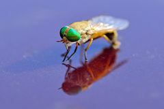 Greenhead Fly Stock Photo