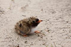 Baby bird seagull. The coward baby bird (Sterninae Stock Images