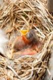 Greenhorn nestling opened beak sitting in a nest Stock Images
