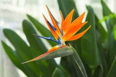 Greenhous με το τροπικό εξωτικό λουλούδι του πουλιού του παραδείσου ή Strelitzia στοκ εικόνες
