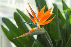 Greenhous с тропическим экзотическим цветком райской птицы или Strelitzia Стоковые Изображения