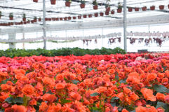 Greenhouse. With red flowers-wide angle Stock Photos