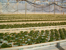 Greenhouse. Young plant of cucumbers in greenhouse in The Republic of Belarus Stock Image