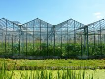 Greenhouse. Vegetables growing in hot houses of glass Stock Photos