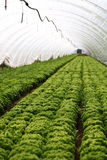 Greenhouse. View into a greenhouse with young salad plants Royalty Free Stock Image