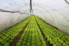Greenhouse. View into a greenhouse with young salad plants Royalty Free Stock Photography