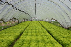 Greenhouse. View into a greenhouse with young salad plants Stock Image