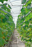 Greenhouse. Rows of plants growing in a long greenhouse Stock Photo