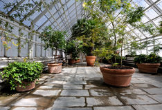 Greenhouse. With large plants in clay pots Stock Image