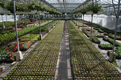 Greenhouse. Bedding plants and hanging baskets are growing in a well ordered commercial greenhouse royalty free stock photo