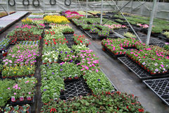 Greenhouse. Bedding plants are growing in a well ordered commercial greenhouse stock image