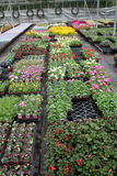 Greenhouse. Bedding plants are growing in a well ordered commercial greenhouse royalty free stock image