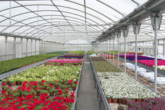 Greenhouse. Flowers in greenhouse in spring Stock Image