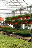 The Greenhouse. Interior picture of hanging baskets in the greenhouse royalty free stock photos
