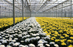 Greenhouse. Yellow and white chrysanthemum growing in a hothouse stock photo